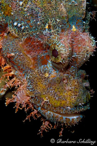 Scorpionfish in colorful portrait by Barbara Schilling 